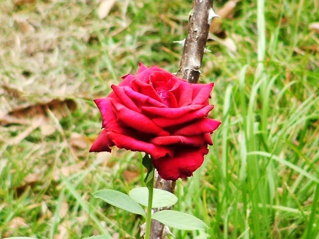 Summerville, SC : a Rose in Our yard,Summerville,SC