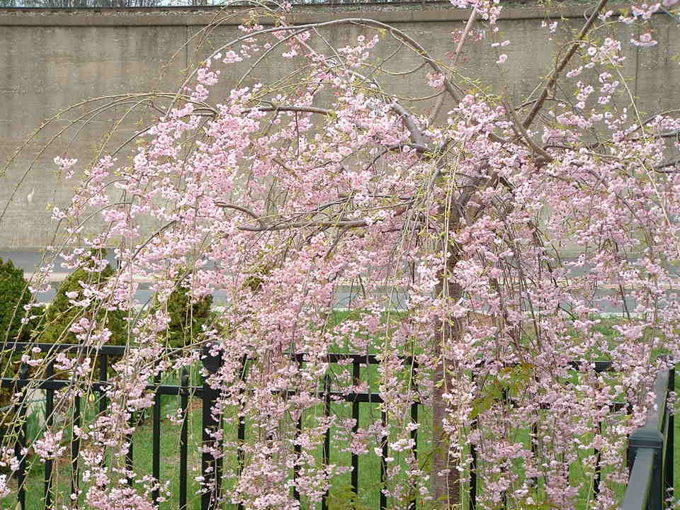 Newburgh, NY : Blossoms On Fence