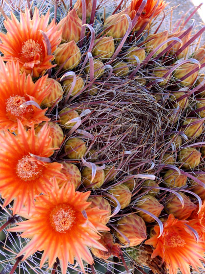 Three Points, AZ : Barrel Cactus