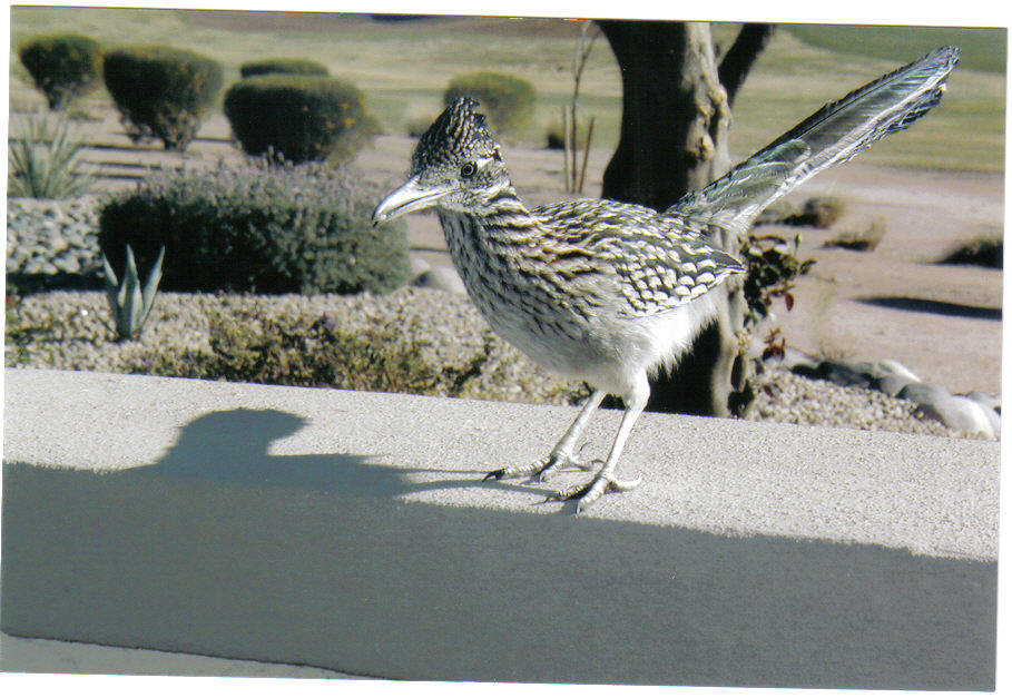 Lake Havasu City, AZ: AZ roadrunner