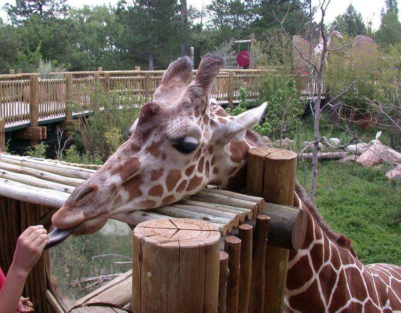 Colorado Springs, CO: Cheyenne Mountain Zoo, Sept 2005, Feeding the Giraffes