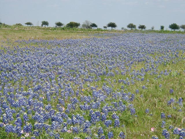 Flatonia, TX: Texas Bluebonnets