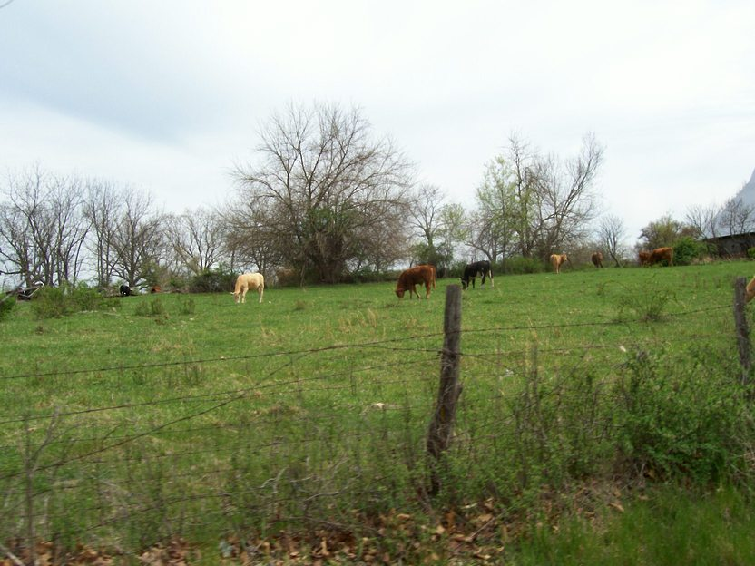 Nixa, MO : grazing cows