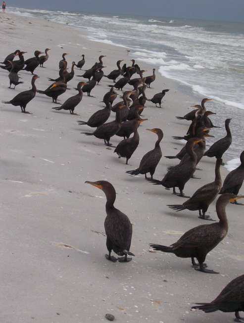Indian Rocks Beach, FL : Birds Taking a Dip