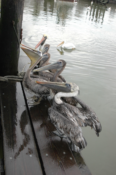 Galveston, TX : Brown Pelicans outside shop on Harborside, with White Pelican in the background