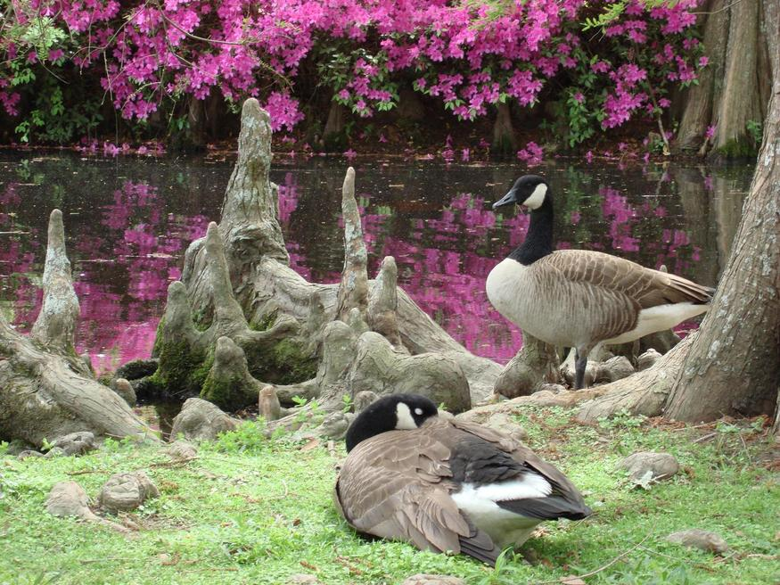 Sumter, SC : Geese with azaleas at Swan Lake