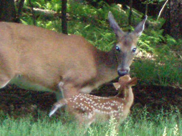 Treasure Lake, PA : Doe and Fawn