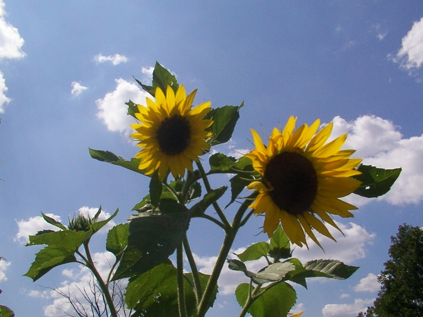 Durand, MI : Sunflowers in a Durand country yard