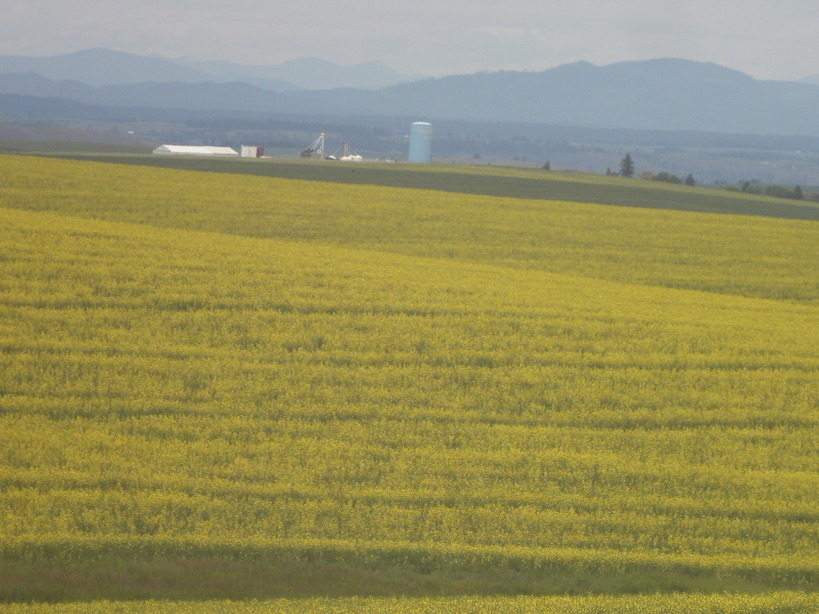 Nez Perce, ID : looking north from a canola field