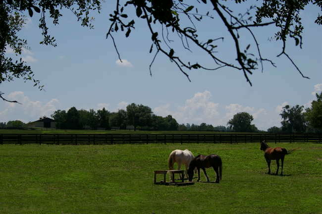 Reddick, FL: Horses in the pasture, located in Reddick, Fl