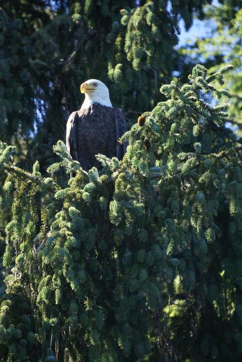 Ocean Shores, WA : Bald eagle at the Weatherwax property