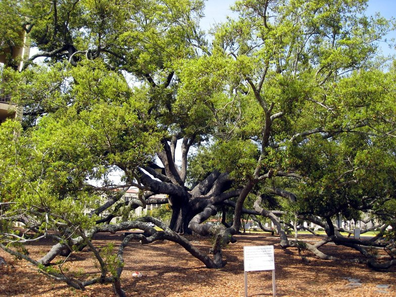 Long Beach, MS: This is the Friendship Oak at the University of Southern Mississippi Gulf Park campus. It is 500+ years old!