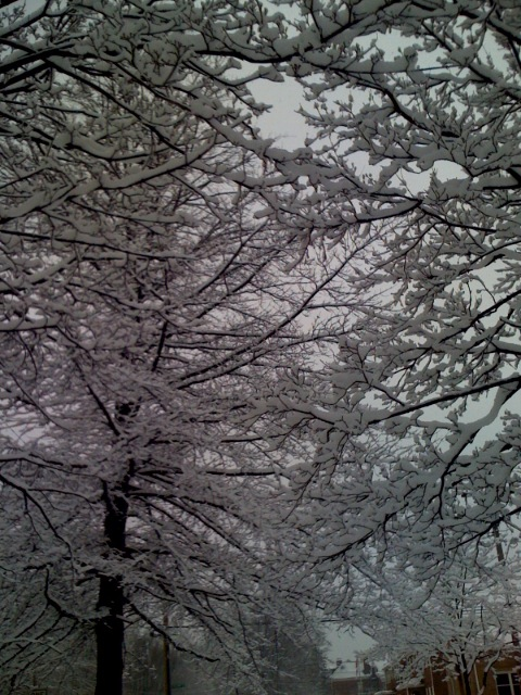 Erie, PA : trees after a snowstorm