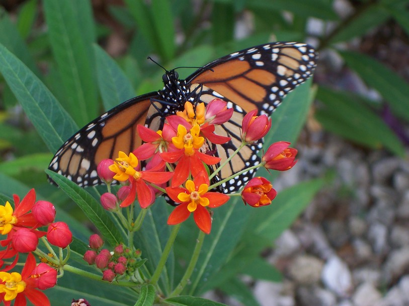 Port Charlotte, FL : Monarch in the fall