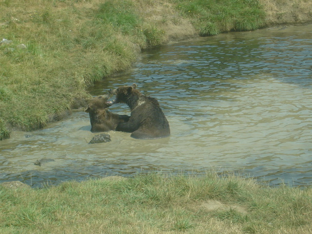 Roseburg, OR : brown bear playing roseburg oregon