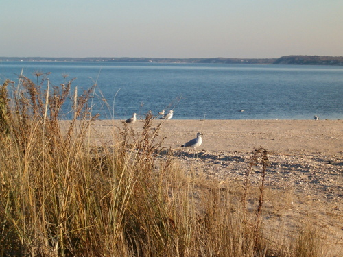 Jamesport, NY: Gulls at Miamogue Point ,Jamesport, NY