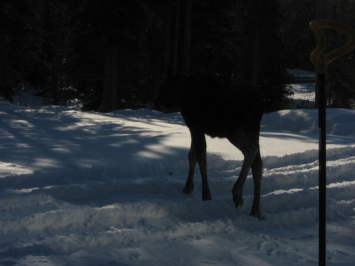 Sterling, AK: The shovel in my front yard is taller than the Baby Moose or is it?