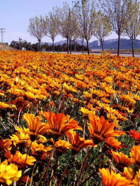 Murrieta, CA : Sun Flower by Walmart at Madison Avenue, Murrieta