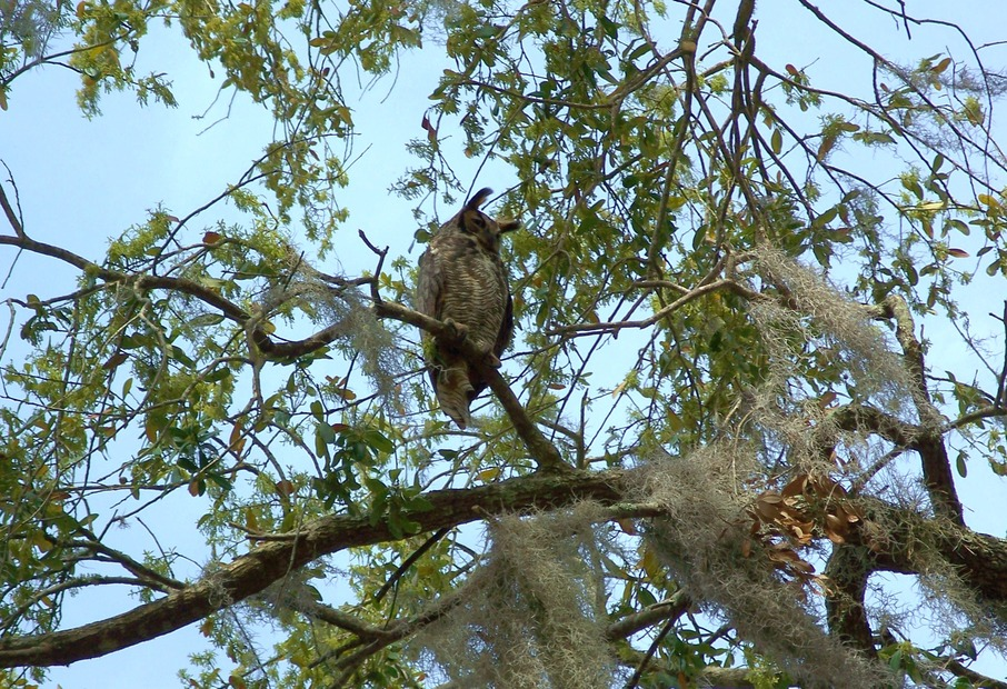 St. Marys, GA : Mama Owl, Our Local Celebrity