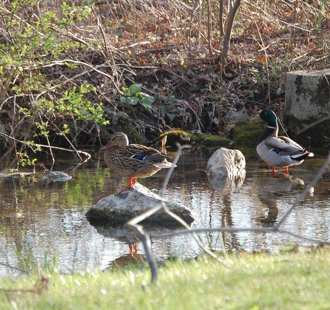 Fairfield, PA : Resident Mallards