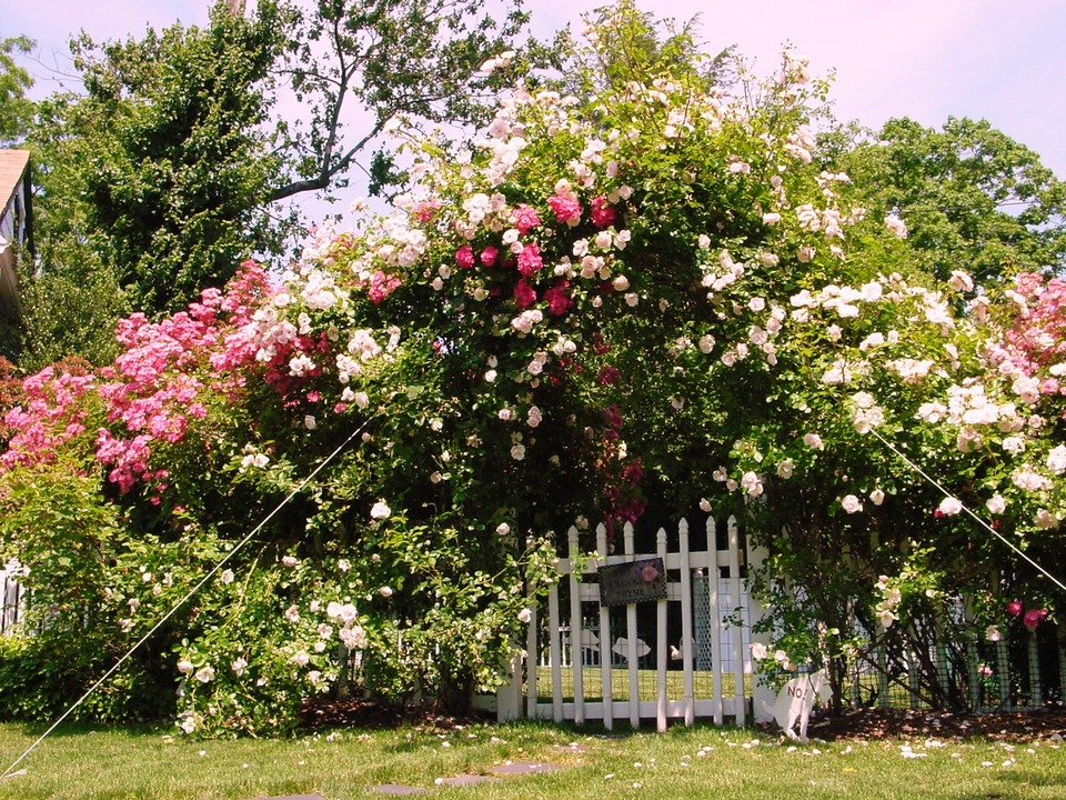 New Rochelle, NY : The Cottage on Webster - Rose Arch in Bloom