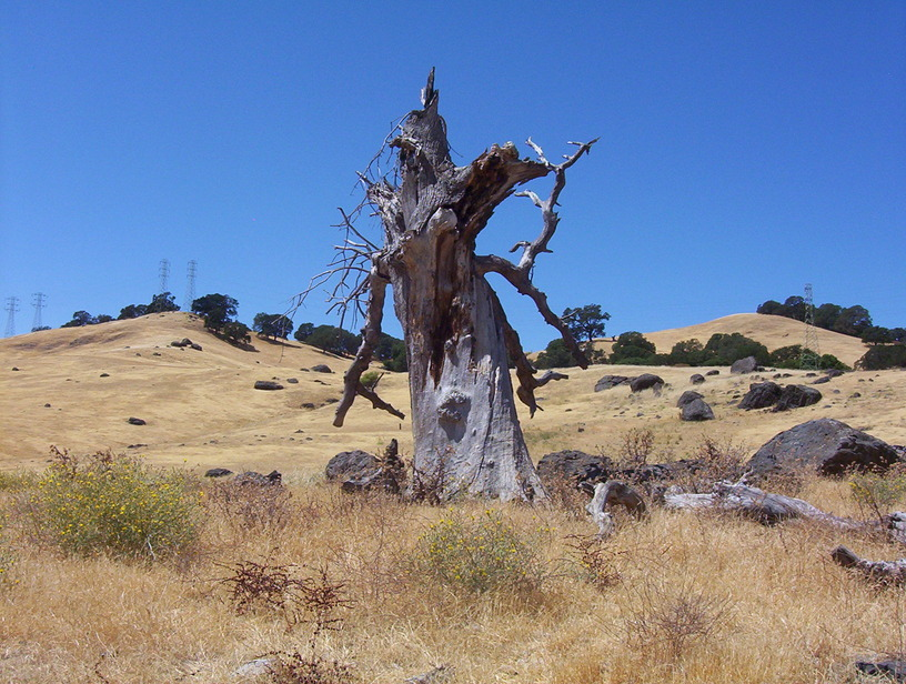 Vacaville, CA : This is a photograph of a lightening-struck tree in Vacaville's hills.