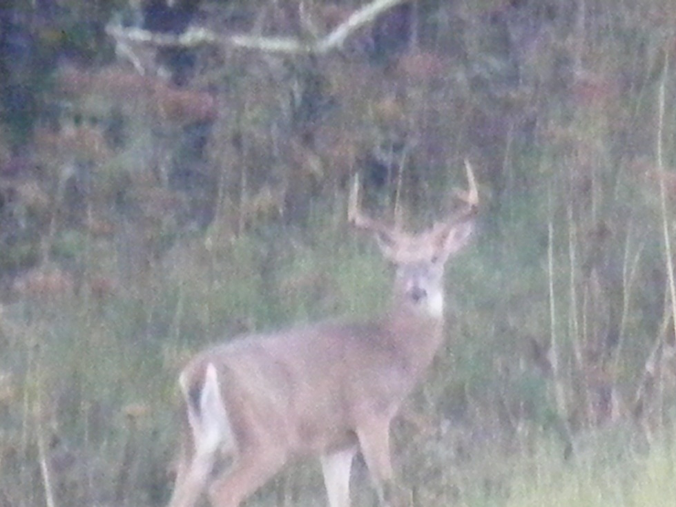 Ellenboro, WV : white tail in ellenboro wv