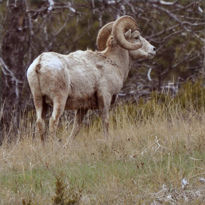 Choteau, MT : Benchmark Bighorn