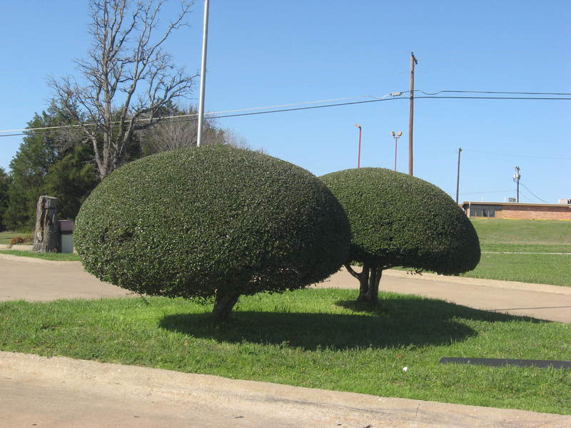 Denison, TX: Beautiful Shaped Tree at Sonic Drive Inn