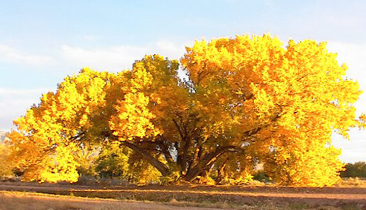 Albuquerque, NM: Corrales Cottonwood in the fall.
