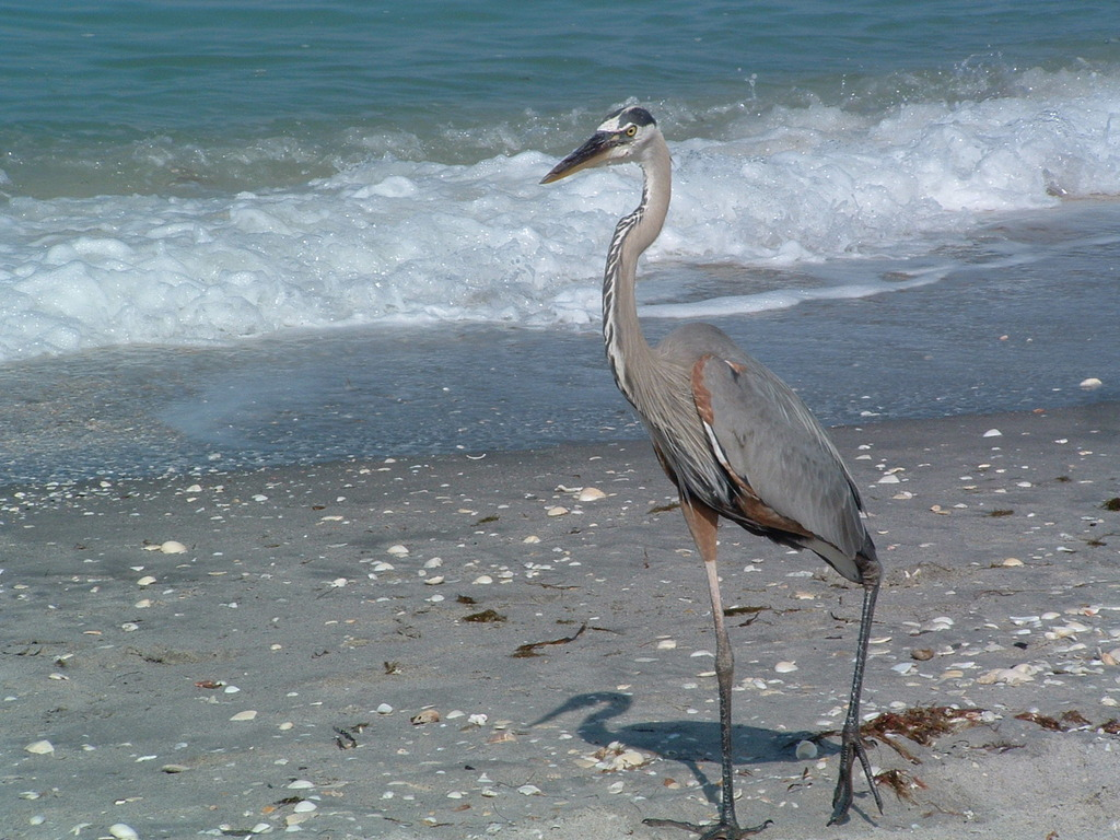 Venice, FL : waterbird at Casperson Beach
