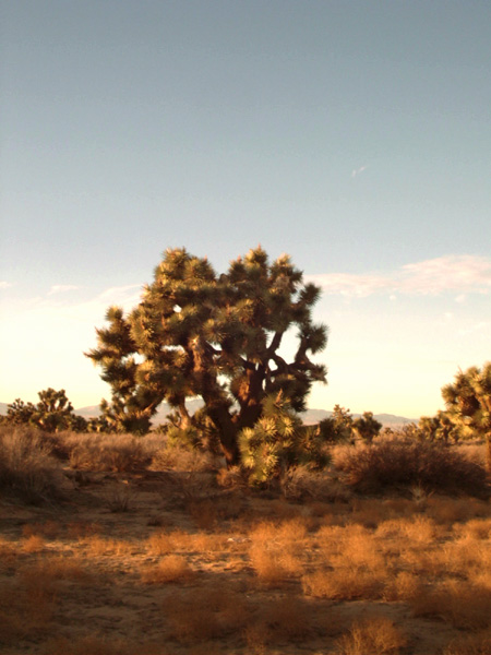 Lancaster, CA : Joshua Tree at Sunset - Lancaster, CA East Side