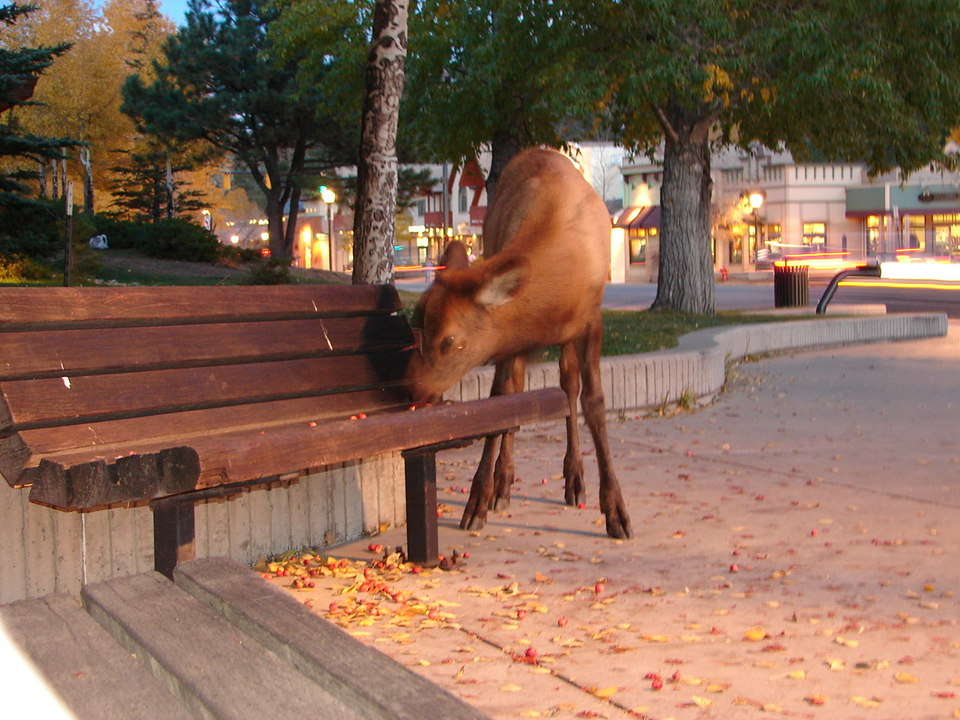 Estes Park, CO : elk near city hall