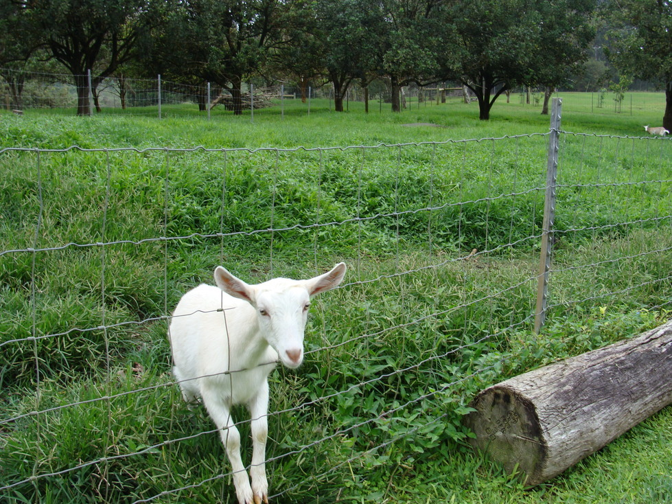 Honokaa, HI : Hawaii Island Goat Dairy Great Cheese in Ahualoa Honokaa