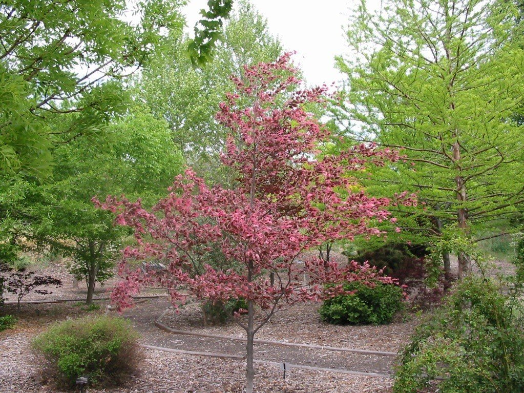 Echo, OR : The Tri-color Beech is a favorite in Echo's Oregon Trail Arboretum