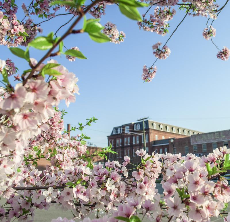 Danville, VA : River District - Tobacco Warehouse District Cherry Blossoms Danville Virginia