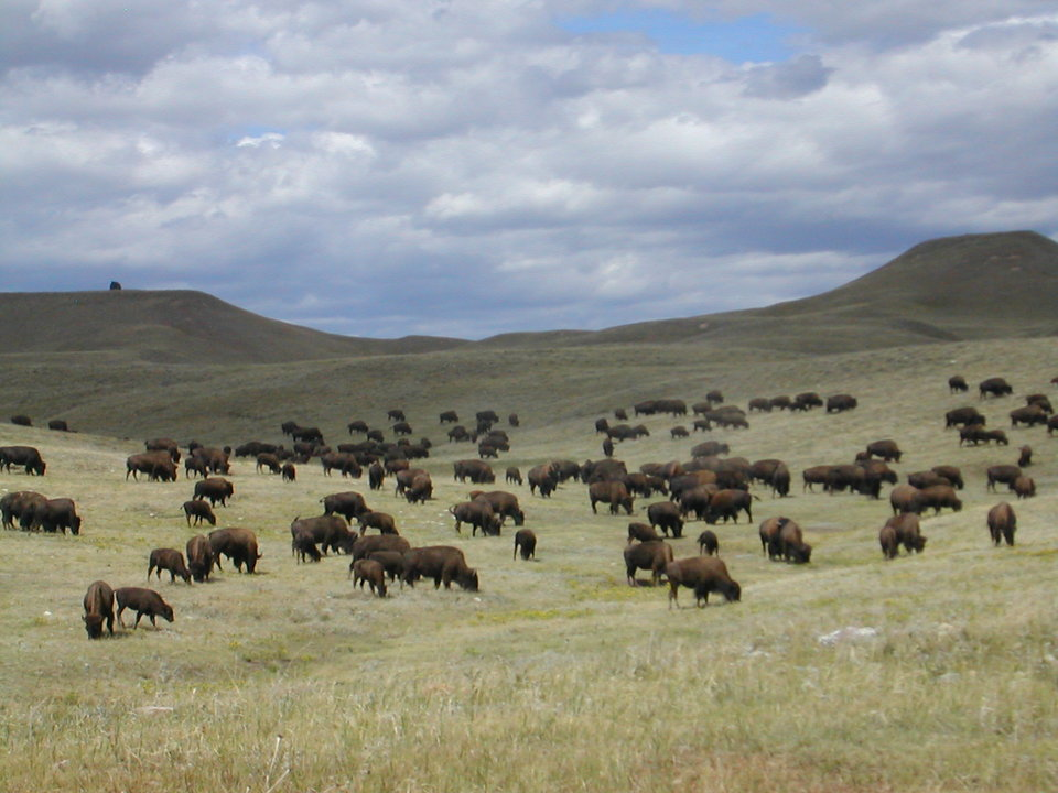 Custer, SD : Buffalo in Custer State Park, South Dakota