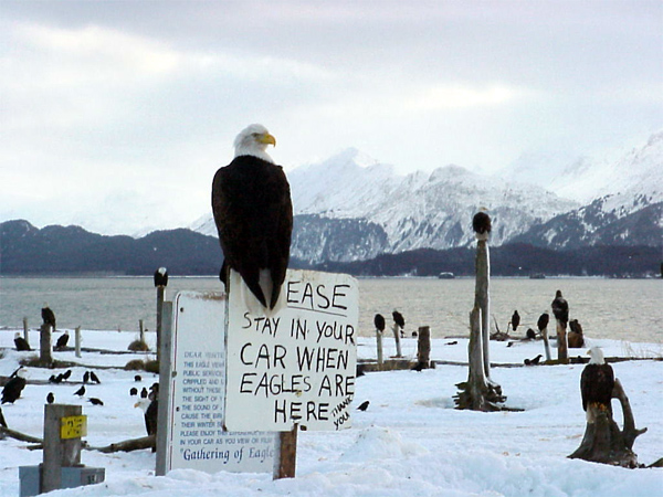 Homer, AK: Eagles on the Homer Spit