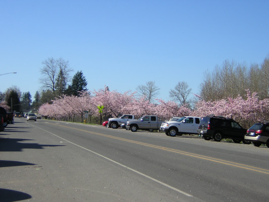 Fall City, WA : Cherry trees along Fall City's main street